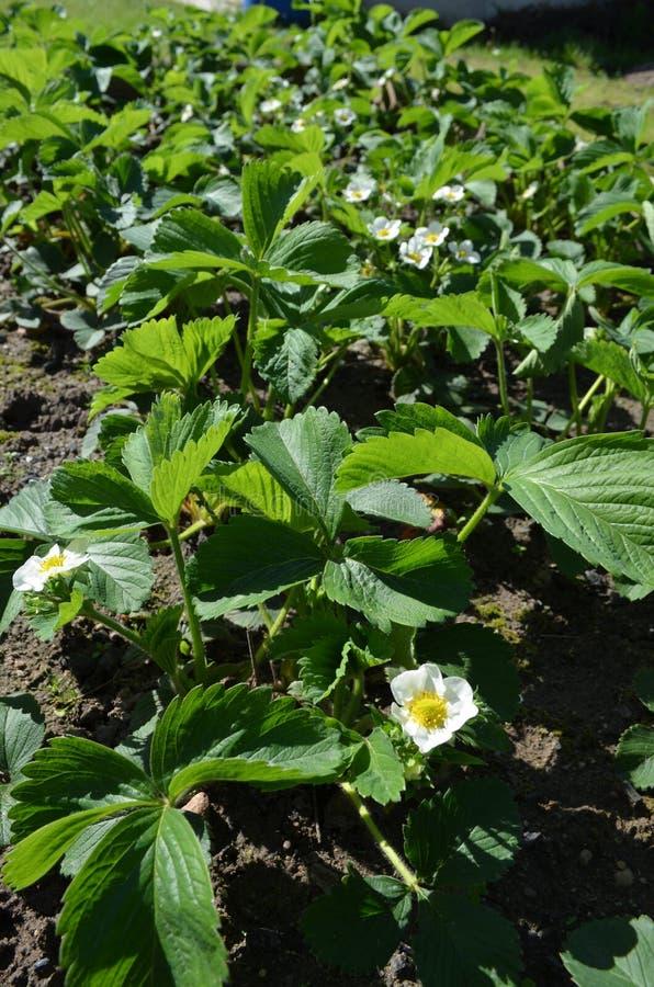Bonne variété de fraises fleurissantes abondantes photos stock