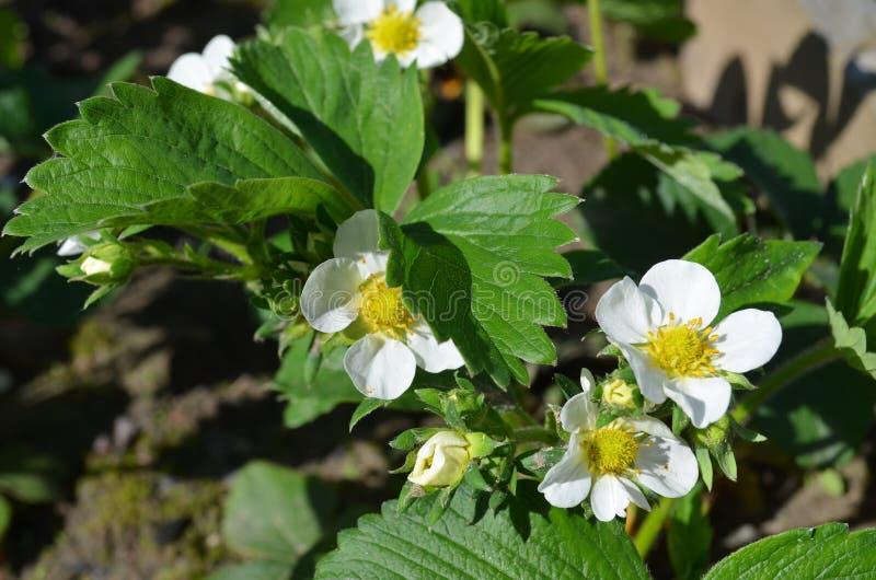 Bonne variété de fraises fleurissantes abondantes images libres de droits