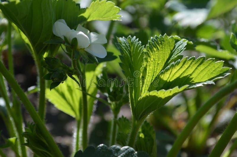 Bonne variété de fraises fleurissantes abondantes image stock