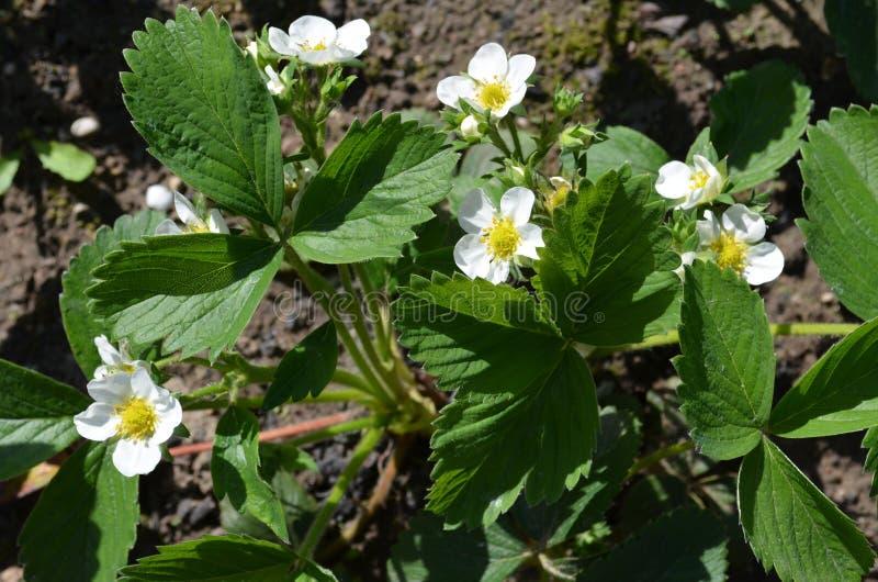 Bonne variété de fraises fleurissantes abondantes image libre de droits