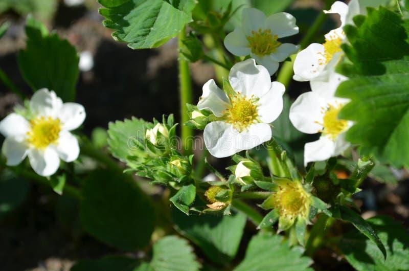 Bonne variété de fraises fleurissantes abondantes photos libres de droits