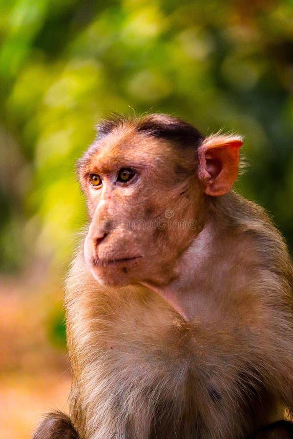 Bonnet macaque royalty-vrije stock foto's