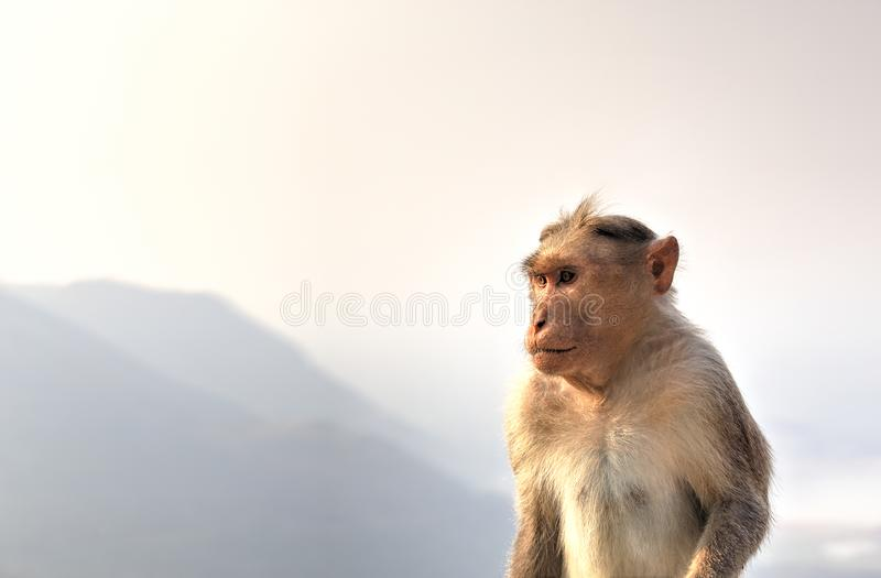 The Bonnet macaque, India stock photo