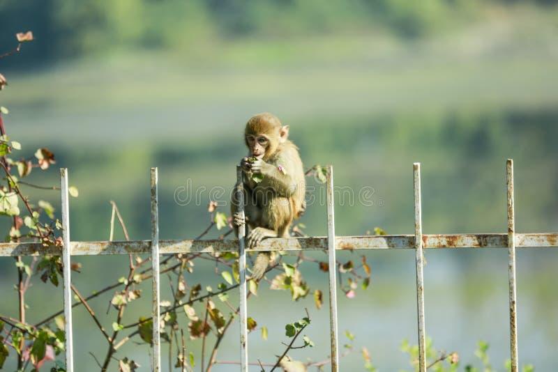 Bonnet macaque Indische aap die voedsel eten royalty-vrije stock afbeeldingen