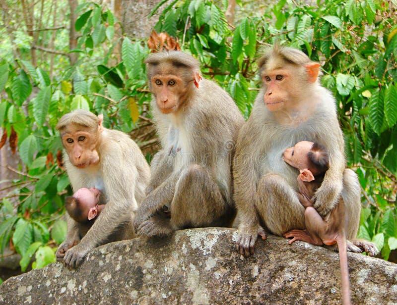 Bonnet Macaque - Indische Apen - Familie met twee Jonge Jonge geitjes royalty-vrije stock foto