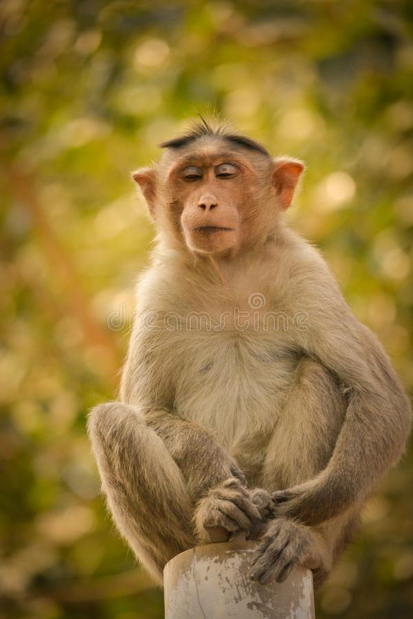 Bonnet macaque sitting on pole. royalty free stock photo