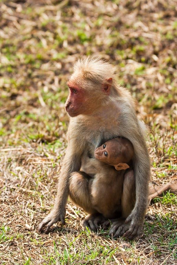 Bonnet Macaque Nursing Young
