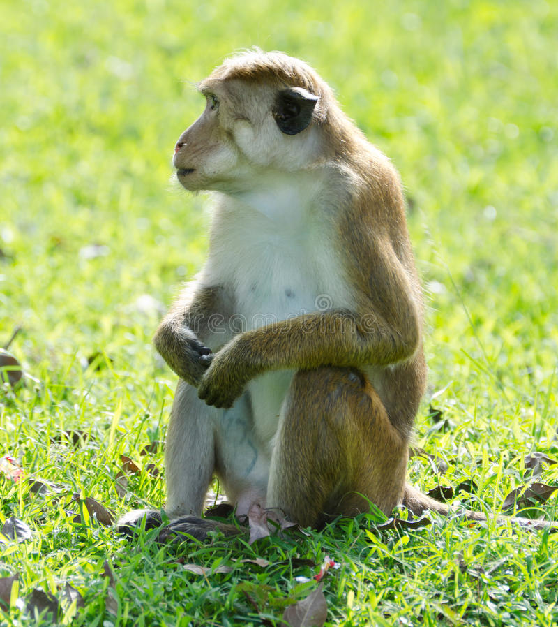 Download Bonnet Macaque Portrait Full-length Stock Photo - Image: 22806900