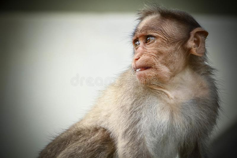Bonnet Macaque young monkey giving candid pose. Shot this picture of India`s Bonnet Macaque young monkey which is so adorable and the angle of his look was so stock photo