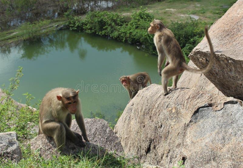 Bonnet Macaques op de rotsen royalty-vrije stock afbeelding