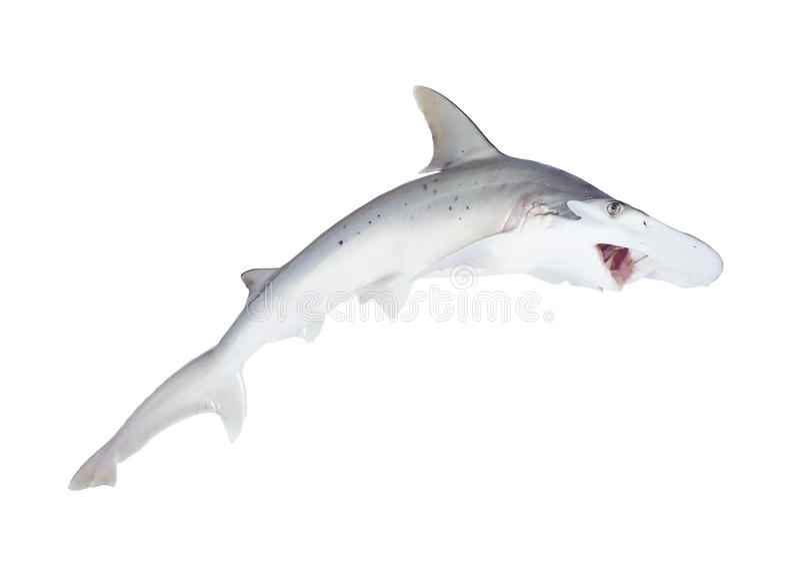 bonnethead鲨鱼或shovelhead,锤骨鱼类tiburo,与开放mo 图库摄影