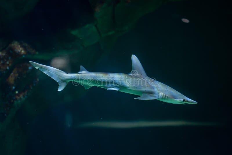 Bonnethead鲨鱼锤骨鱼类tiburo 免版税库存照片