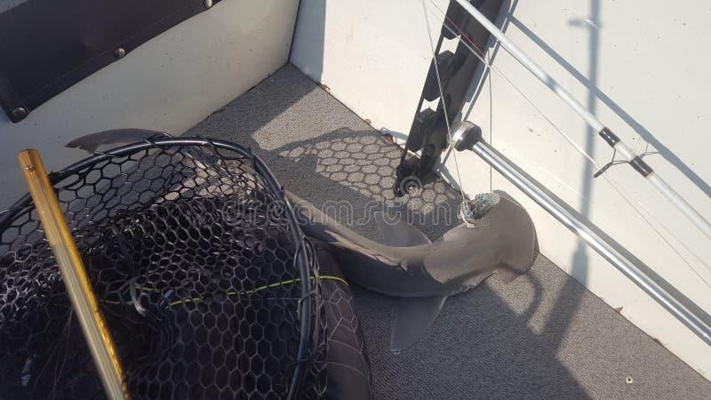 Bonnethead shark caught boat fishing saltwater royalty free stock image