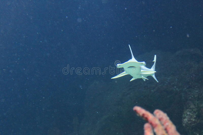 Bonnethead shark stock images