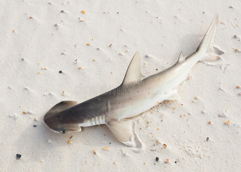 The bonnethead shark or shovelhead, Sphyrna tiburo, lying on the royalty free stock image