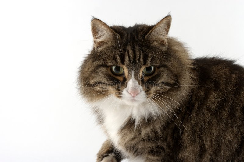 Bonnie the cat... royalty free stock images
