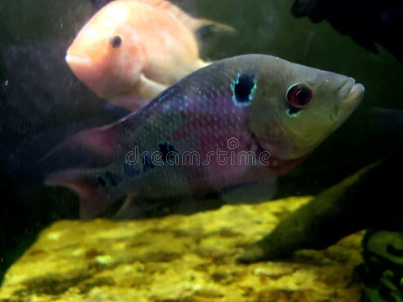 Flowerhorn cichlids stock image  Image of marine, animals - 7039743