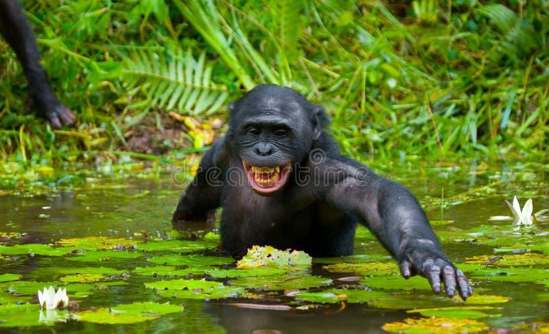 Bonobo är midja-djup, i vattnet och att försöka att få mat congo demokratisk republik Lola Ya BONOBOnationalpark royaltyfria foton