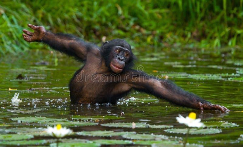 Bonobo är midja-djup, i vattnet och att försöka att få mat congo demokratisk republik Lola Ya BONOBOnationalpark arkivfoton