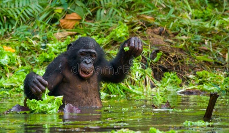 Bonobo är midja-djup, i vattnet och att försöka att få mat congo demokratisk republik Lola Ya BONOBOnationalpark royaltyfri bild