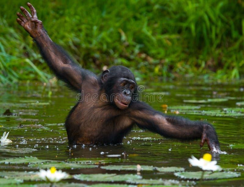 Bonobo är midja-djup, i vattnet och att försöka att få mat congo demokratisk republik Lola Ya BONOBOnationalpark arkivfoto