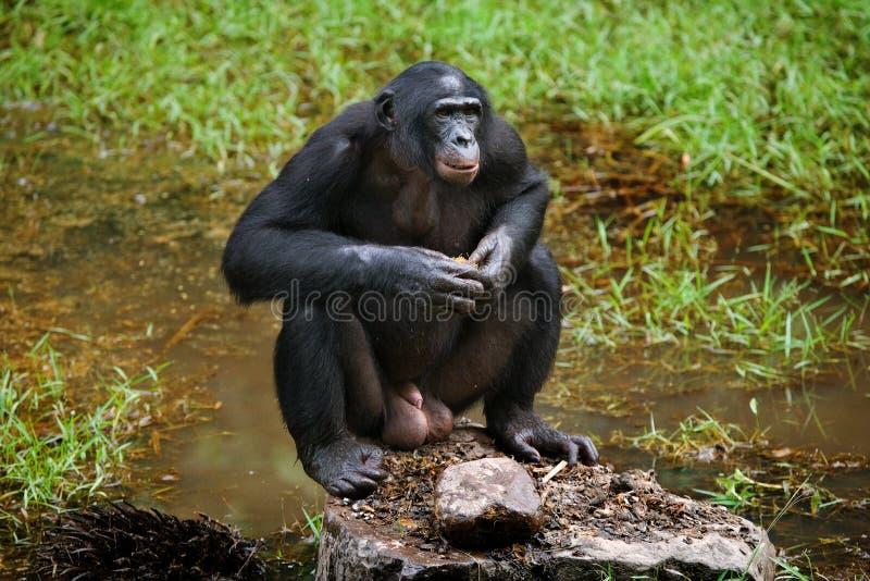 Bonobo är nära sjön congo demokratisk republik Lola Ya BONOBOnationalpark arkivbilder