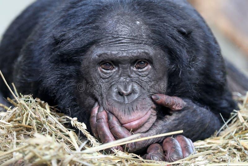 Bonobo imagen de archivo libre de regalías