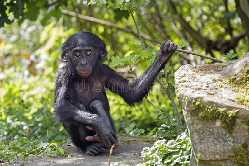Bonobo fotografie stock libere da diritti