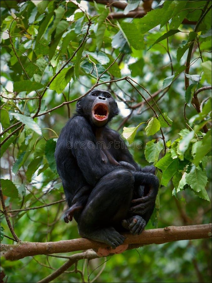 Bonobo on a branch. royalty free stock photos