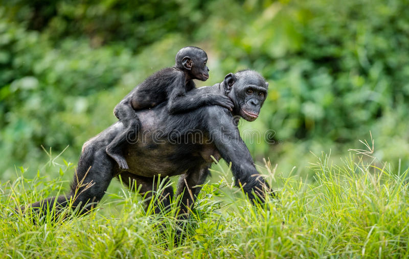 Download Bonobo Cub On The Mother`s Back . Stock Photo - Image: 83714157