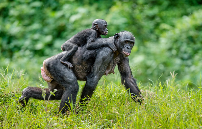 Download Bonobo Cub On The Mother`s Back . Stock Image - Image: 83715243