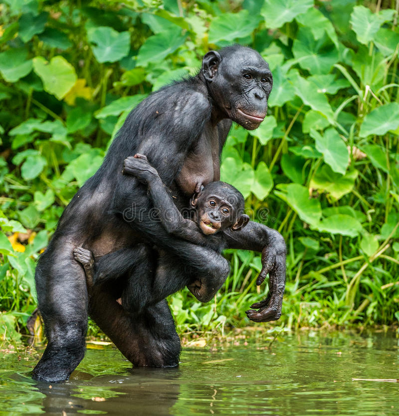 Download Bonobo With Cub In The Water Stock Photo - Image: 83724362