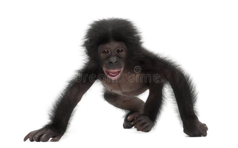 Bonobo del bambino, paniscus della vaschetta, 4 mesi, ambulanti fotografia stock libera da diritti