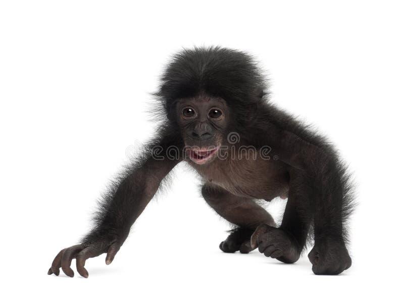 Bonobo del bambino, paniscus della vaschetta, 4 mesi, ambulanti immagini stock libere da diritti