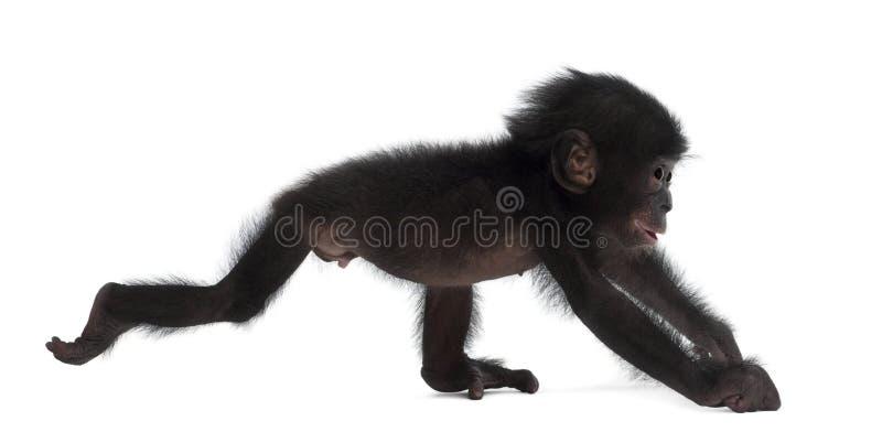 Bonobo del bambino, paniscus della vaschetta, 4 mesi, ambulanti fotografia stock