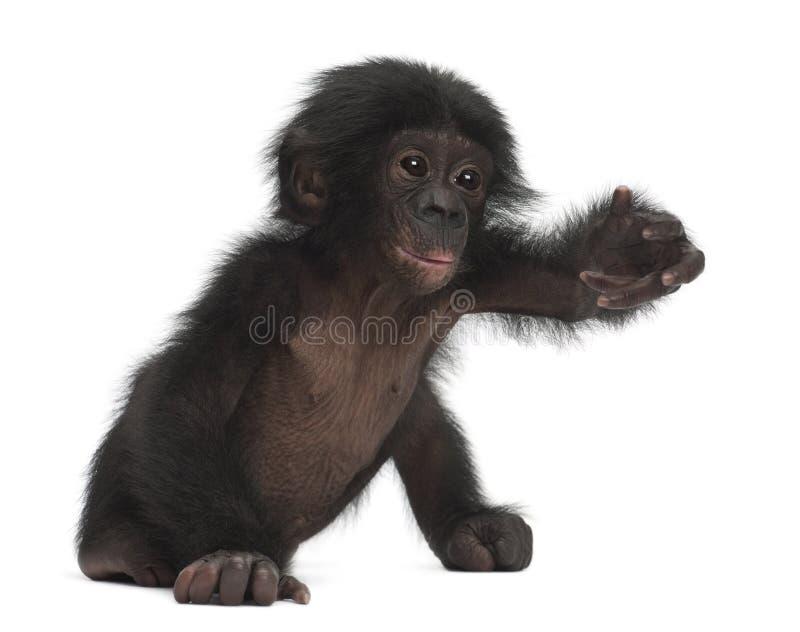 Bonobo del bambino, paniscus della vaschetta, 4 mesi, sedentesi immagini stock libere da diritti