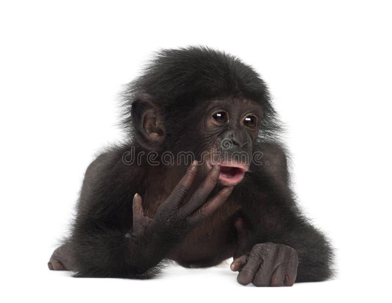 Bonobo del bambino, paniscus della vaschetta, 4 mesi, trovantesi immagine stock libera da diritti