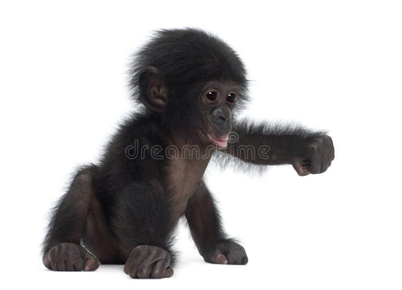 Bonobo do bebê, paniscus da bandeja, 4 meses velho, sentando-se fotos de stock royalty free