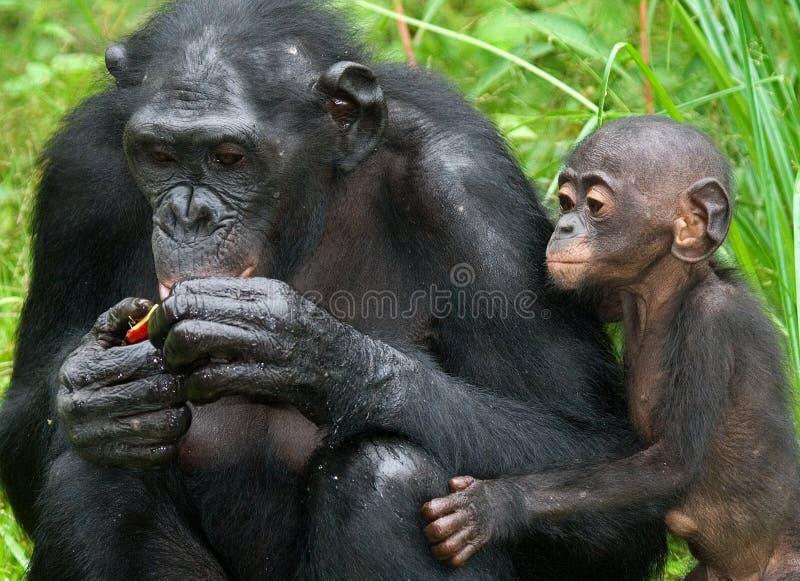 Bonobo femminile con un bambino Il Republic Of The Congo Democratic Parco nazionale del BONOBO di Lola Ya immagini stock