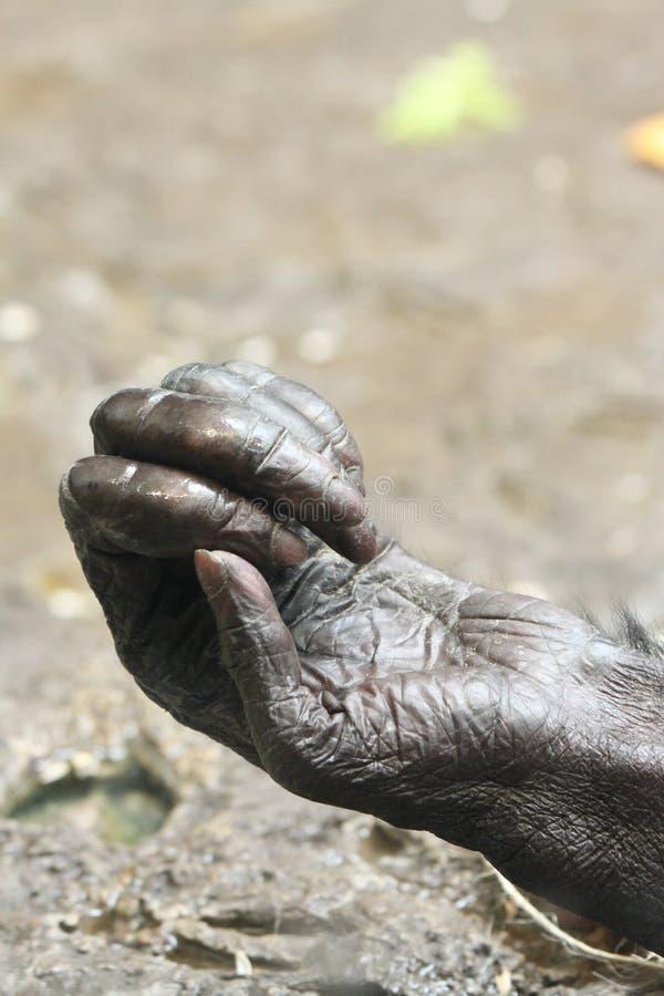 Bonobo Gesloten Hand royalty-vrije stock foto's