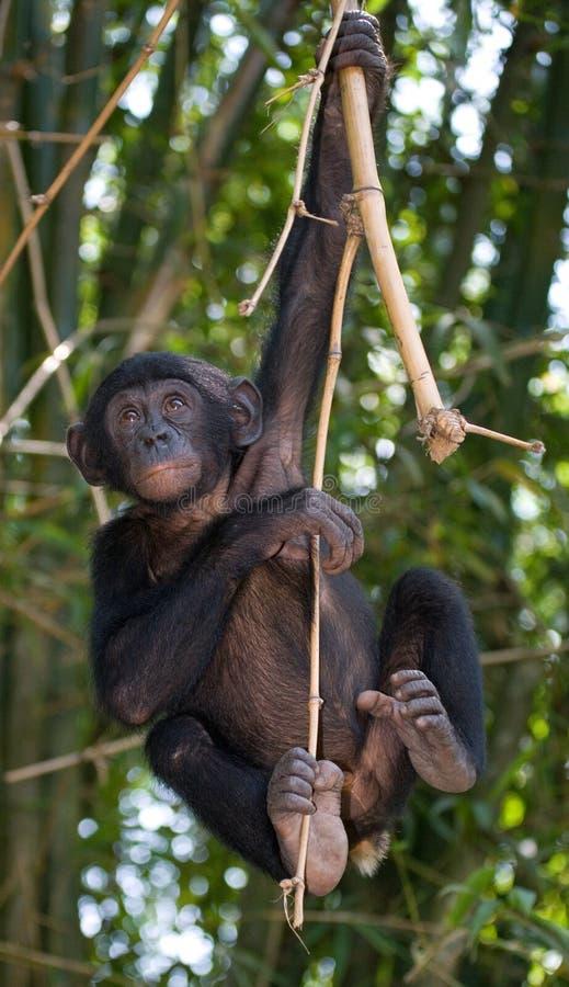 Bonobo på ett träd congo demokratisk republik Lola Ya BONOBOnationalpark fotografering för bildbyråer