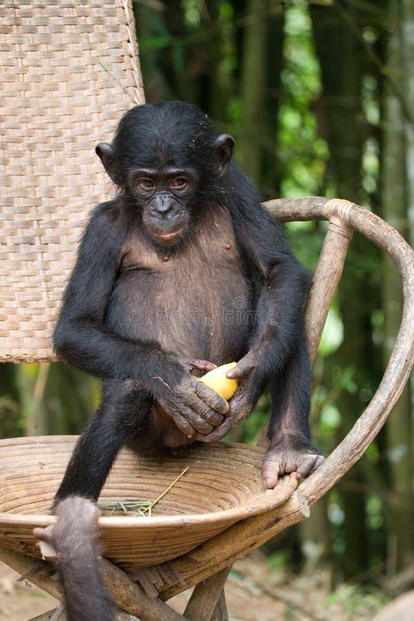 Bonobo sitter på en stol congo demokratisk republik Lola Ya BONOBOnationalpark arkivbilder