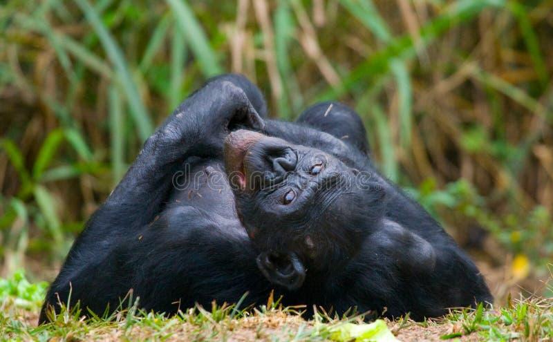 Bonobo som ligger på gräset congo demokratisk republik Lola Ya BONOBOnationalpark arkivfoton