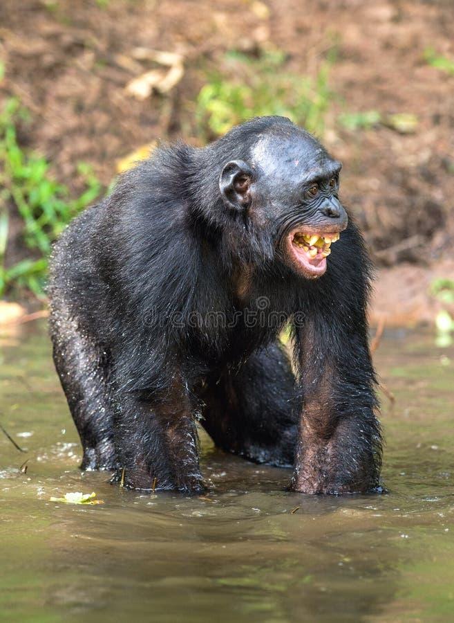 Bonobo sorridente che sta in acqua dello stagno immagine stock