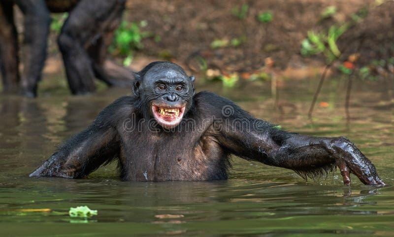 Bonobo sorridente nell'acqua fotografia stock libera da diritti