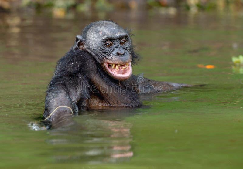 Bonobo sorridente nell'acqua immagini stock
