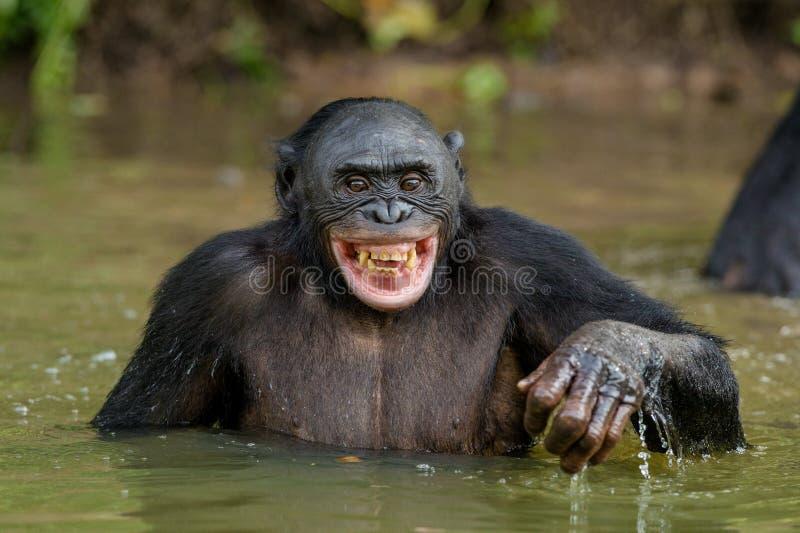 Bonobo sorridente nell'acqua fotografia stock