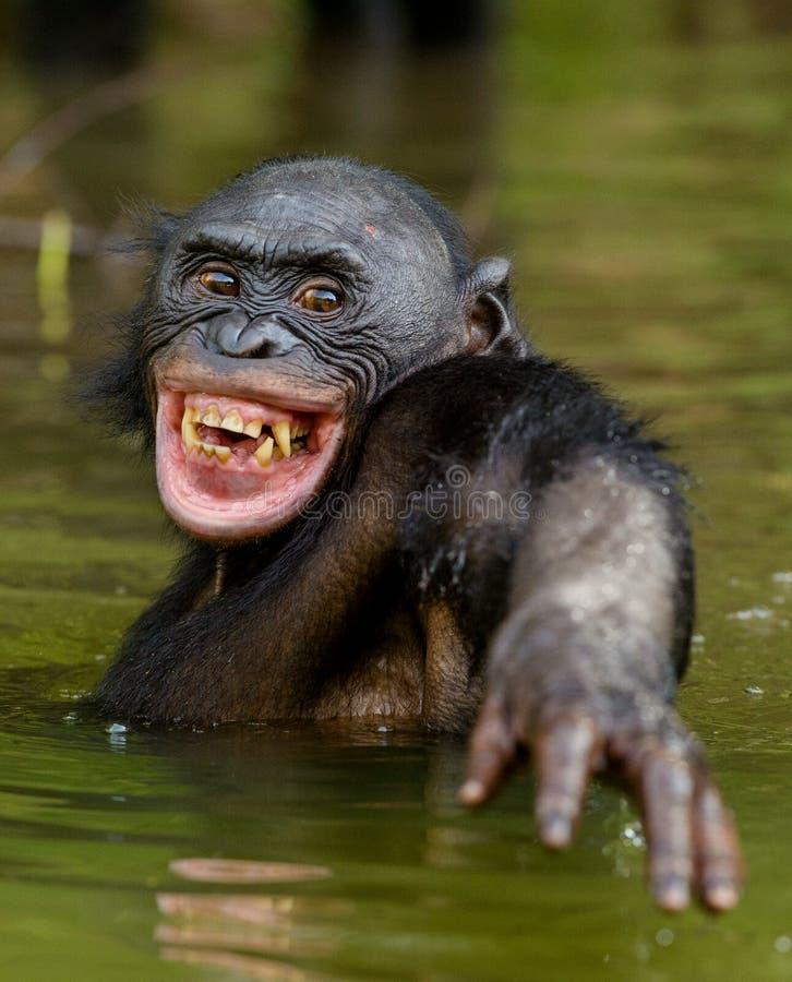 Bonobo sorridente nell'acqua immagine stock libera da diritti