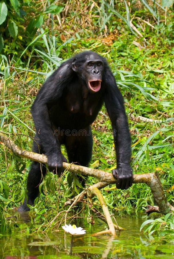 Bonobo står på kanten av dammet congo demokratisk republik Lola Ya BONOBOnationalpark fotografering för bildbyråer