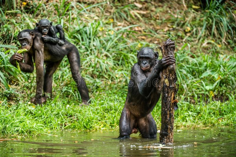 Download Bonobo in the water. stock image. Image of lake, grass - 83724371